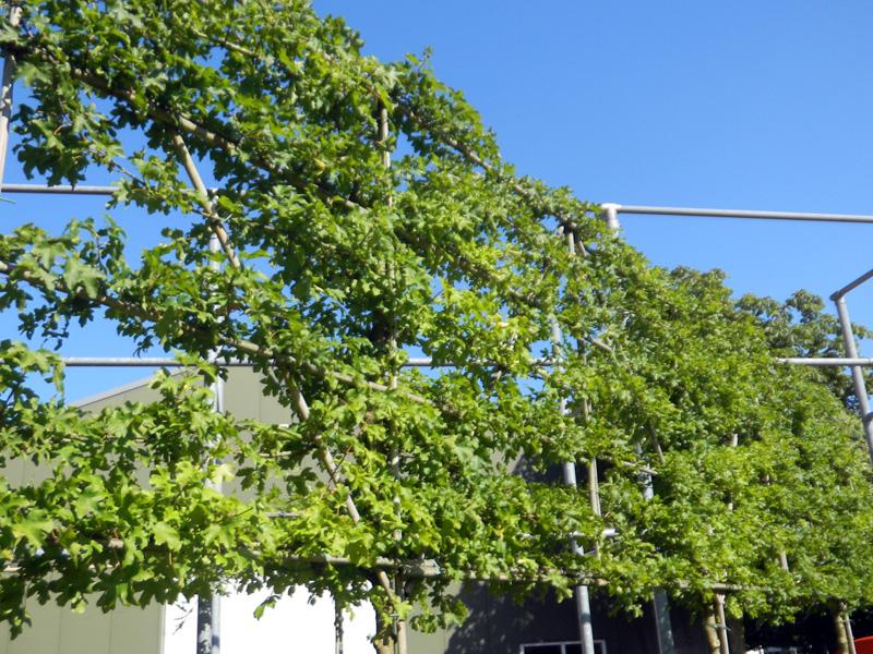 Acer campestre leiboom